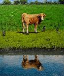 Bovine Reflections